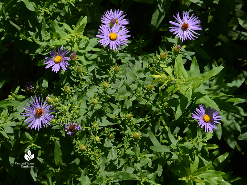 aromatic aster native perennial blooming in May