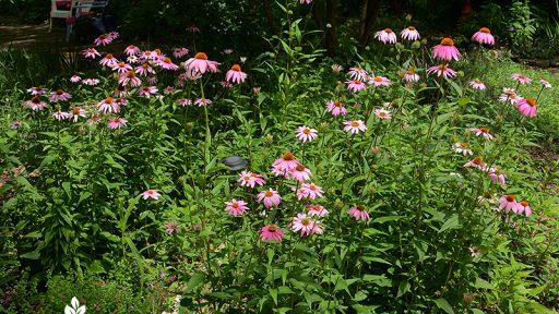 native perennial coneflower bounty for pollinators Central Texas Gardener