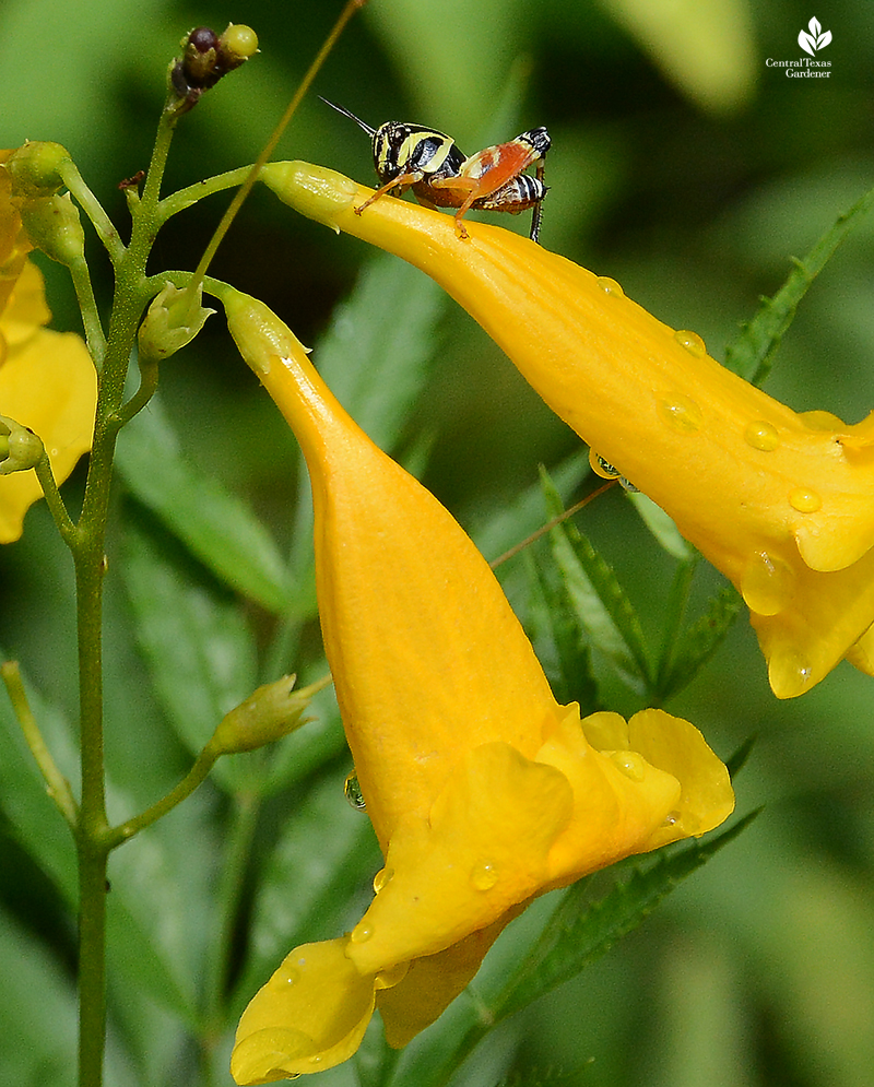 Aztec spur-throated grasshopper-native Tecoma stans flower