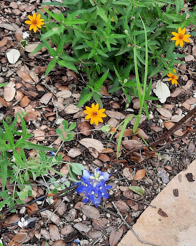 Bluebonnet-in-July-native-perennial-zexmenia-Wildflower-Center