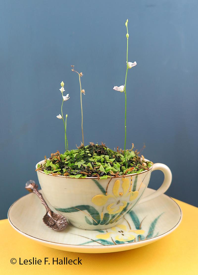 bladderwort plant in a teacup