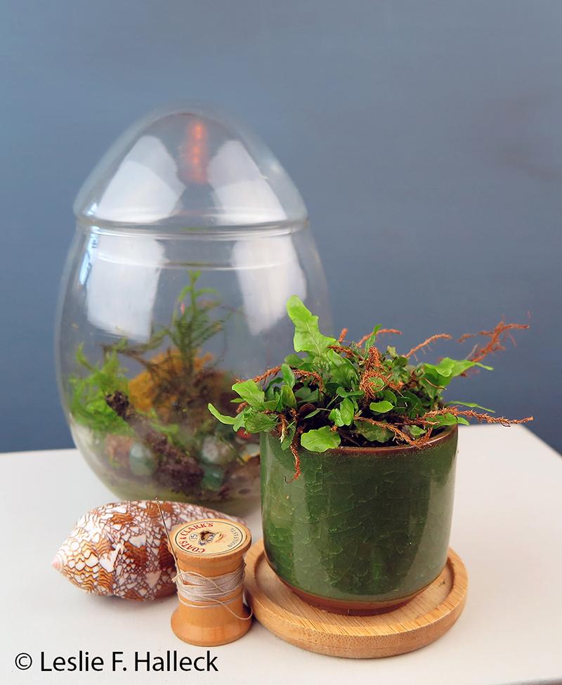 clinging snake fern or vine fern one in a glass bell jar