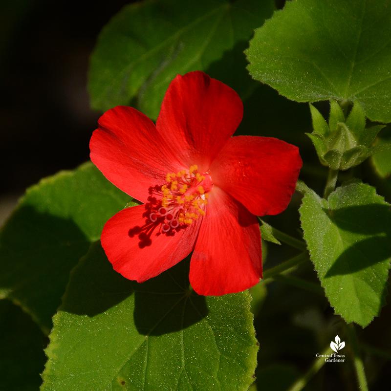 Hibiscus martianus native hibiscus patio container