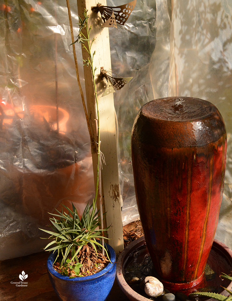Mangave 'Bloodspot' flower spike and bulbils on patio with fountain