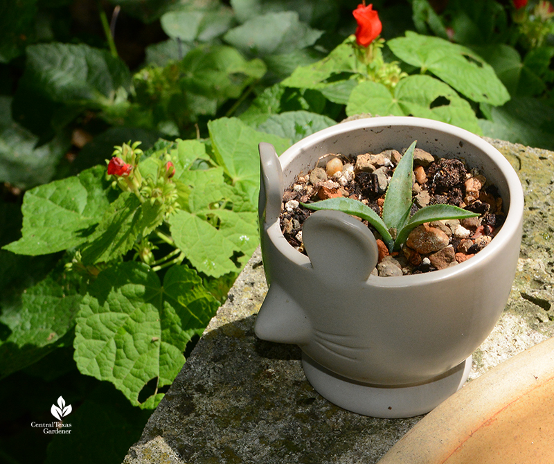 Mangave 'Bloodspot' plantlet in mouse shaped container