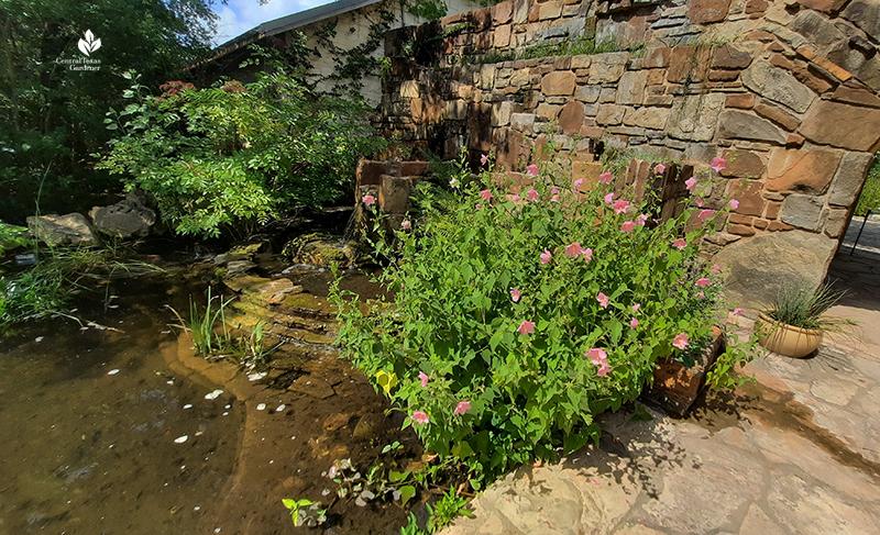 Virginia Saltmarsh Mallow Wildflower Center entrance-pond