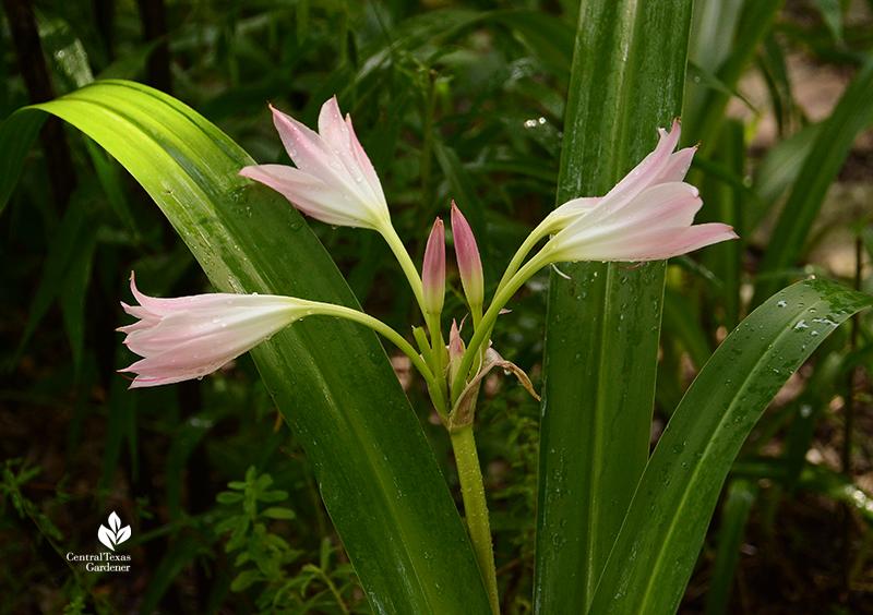 pink crinum lily