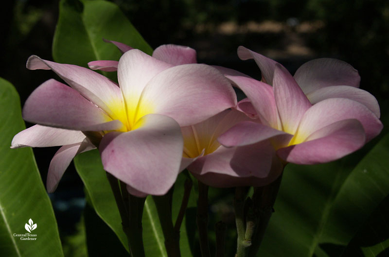 pink and yellow plumeria