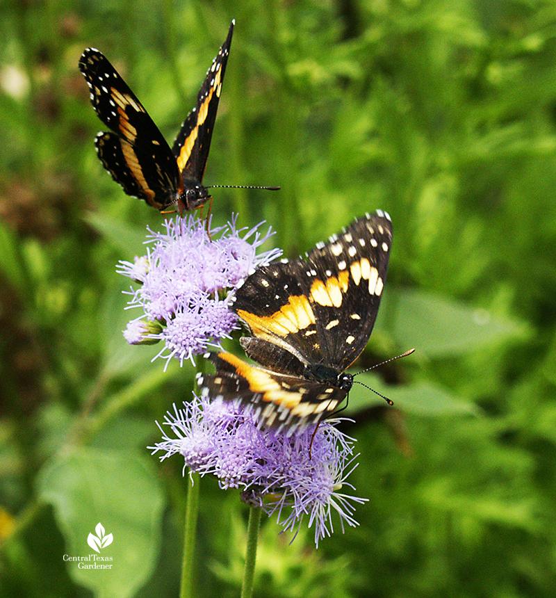 Bordered Patch butterflies on Gregg's mistflower