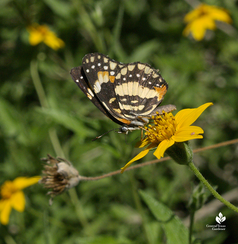Bordered Patch butterfly on zexmenia flowers