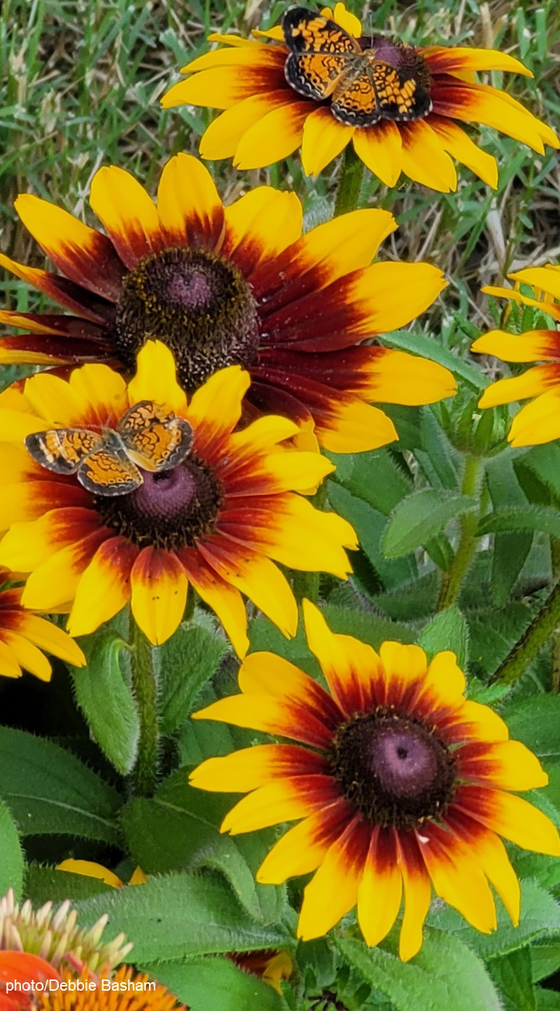 Crescent butterflies on rudbeckia photo by Debbie Basham Central Texas Gardener
