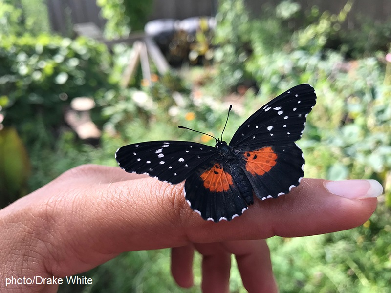 Crimson Patch butterfly on finger