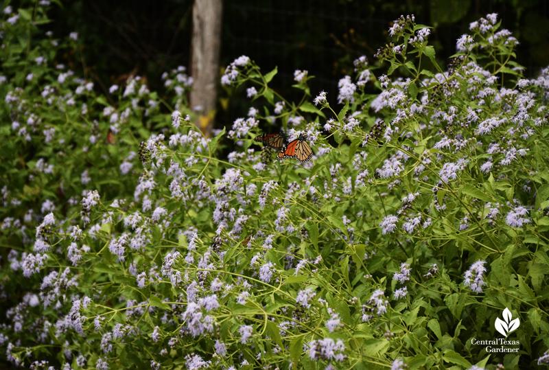blue boneset (Conoclinium coelestinum)