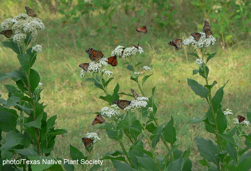 Monarch butterflies on frostweed flowers