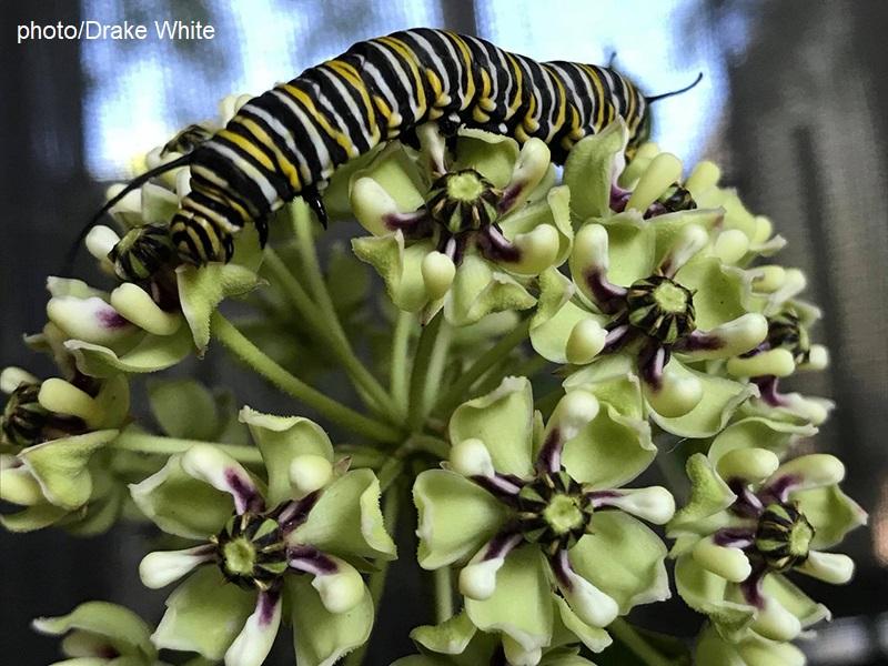 Monarch caterpillar on antelope-horns milkweed