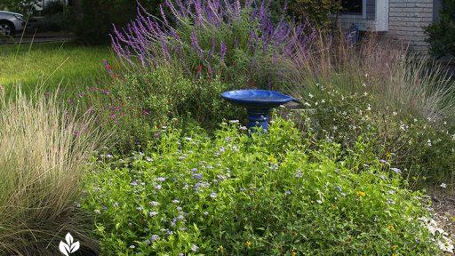 Salvias, Muhly grass, Gregg's mistflower, zexmenia, gaura