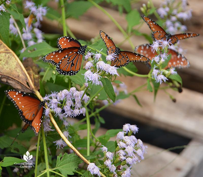 Queen butterflies mistflower flowers Conoclinium coelestinum Central Texas Gardener
