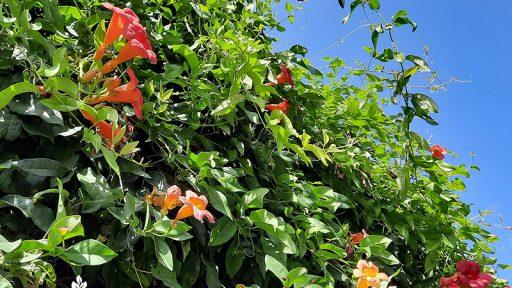 trumpet vine and crossvine flowers