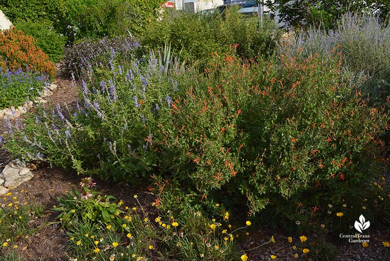flame acanthus four-nerve daisy salvia farinacea orange shrimp Travis County Extension demonstration garden