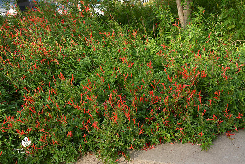 flame acanthus fall flowers