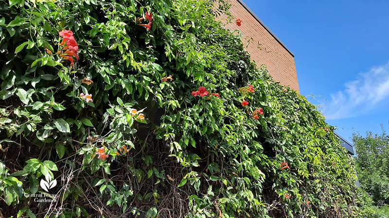 crossvine and trumpet vine on building trellis