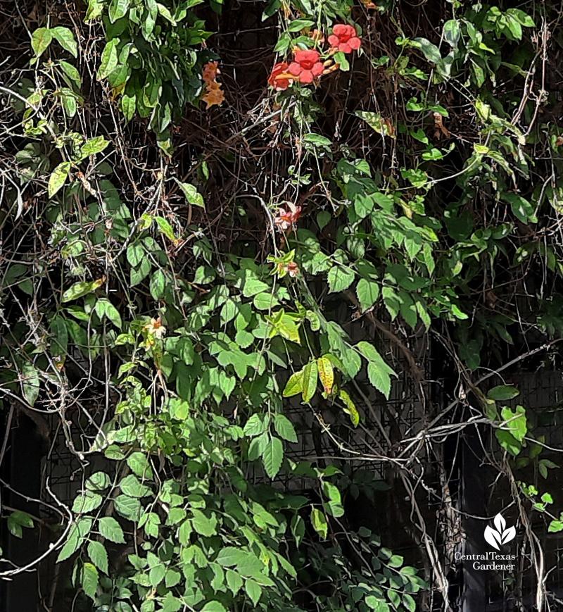 trumpet vine leaves