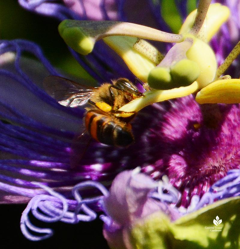 bee on passion vine flower