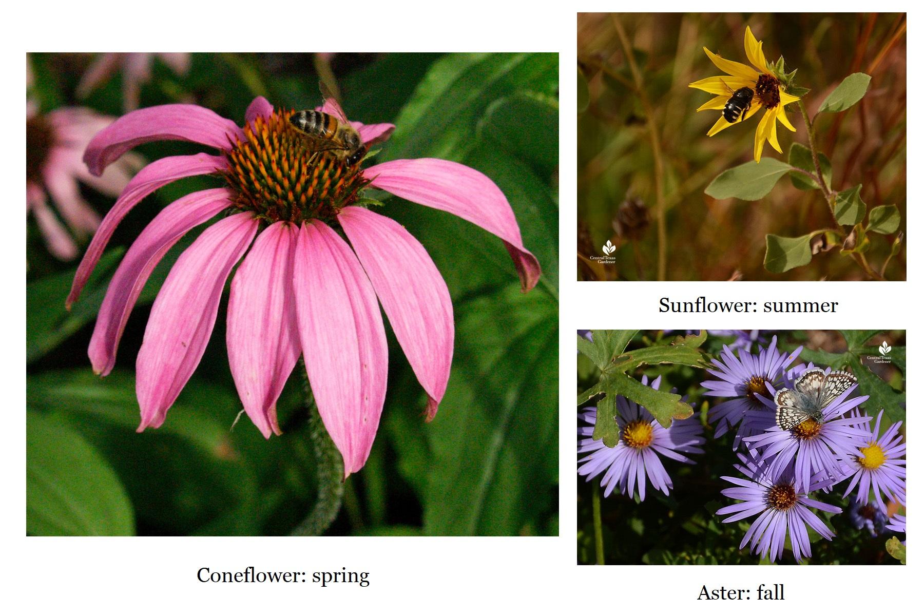 coneflower sunflower aster