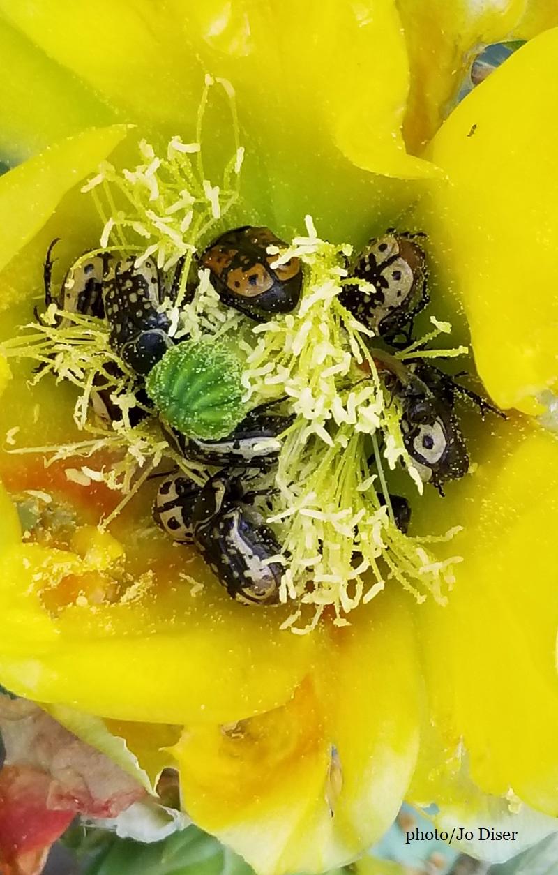 Kern's flower scarab inside prickly pear flower