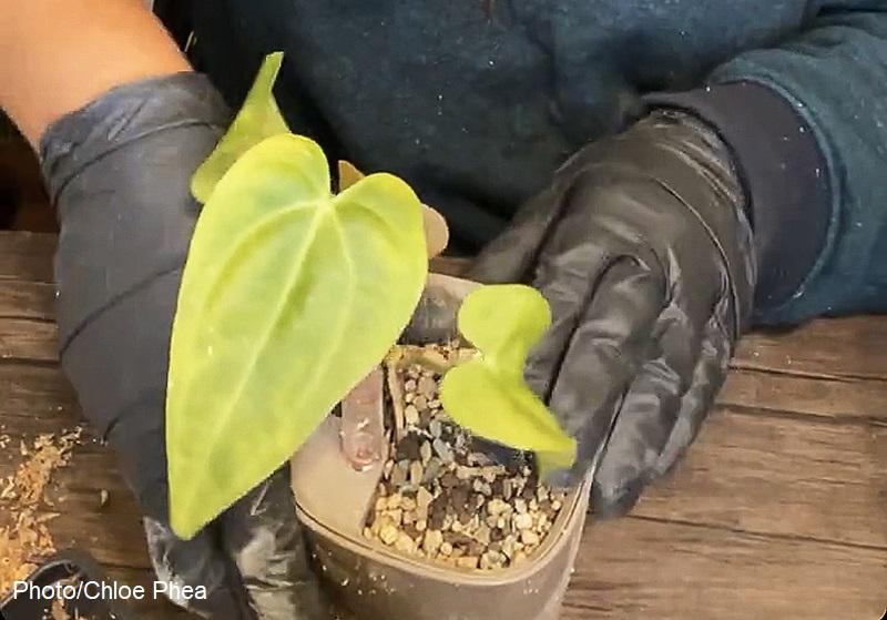 Lechuza substrate