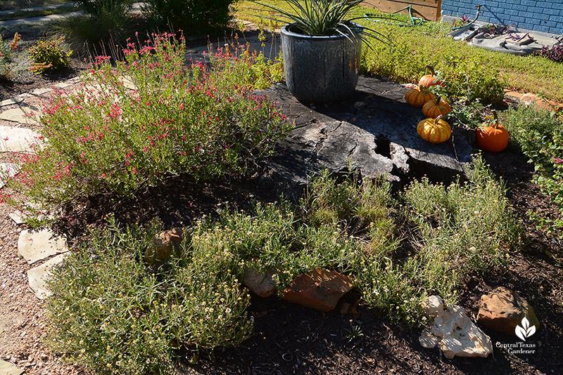 front yard island bed blackfoot daisy four-nerve daisy Salvia greggii old oak stump