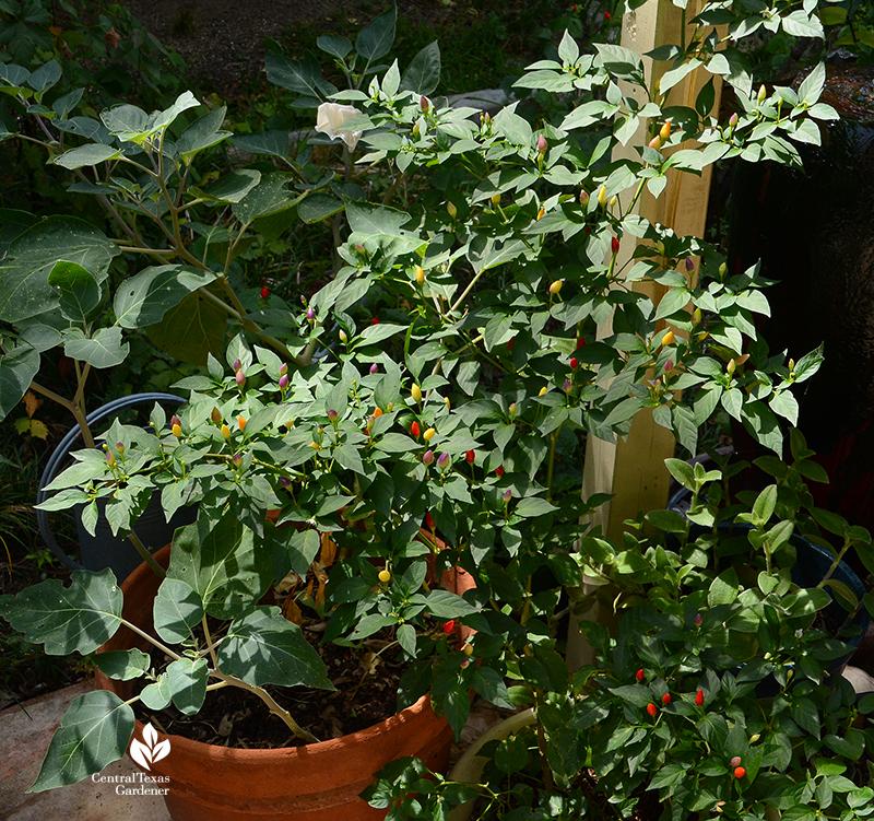Numex Twilight patio pepper