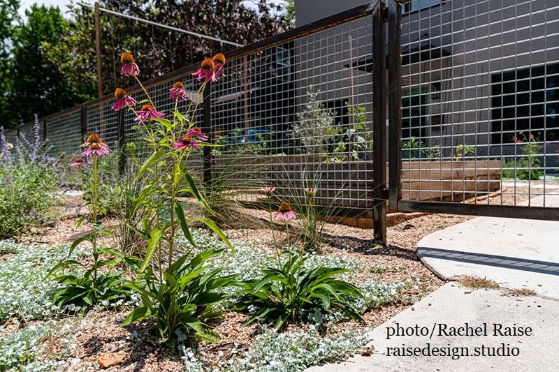coneflower, silver ponyfoot Russian sage small gravel garden