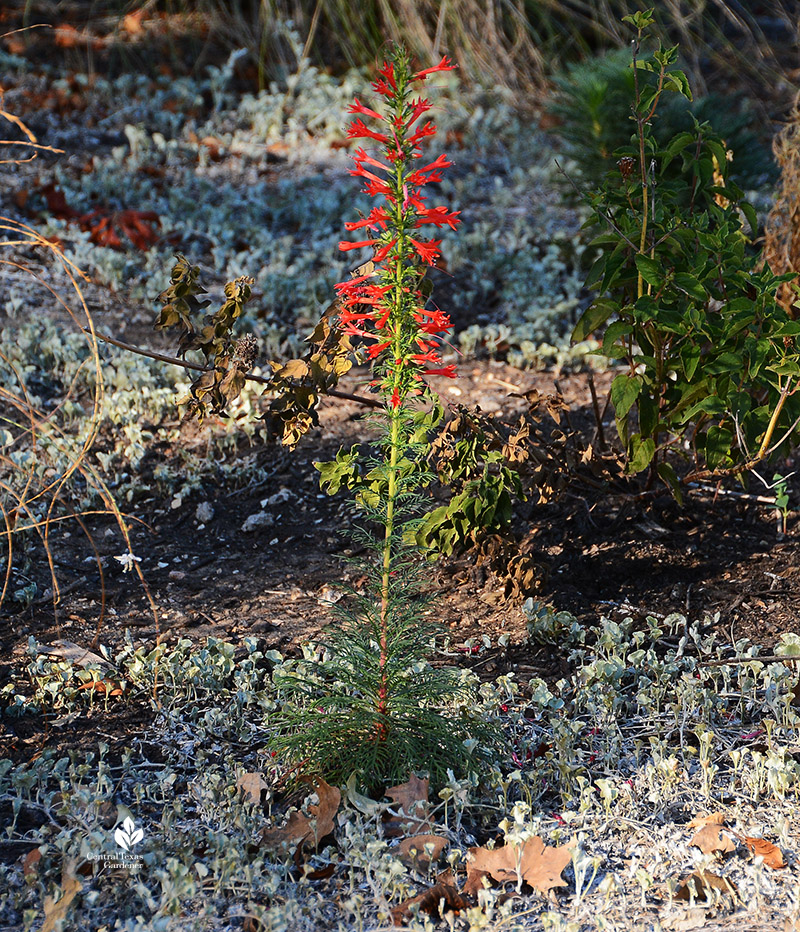 standing cypress flowers