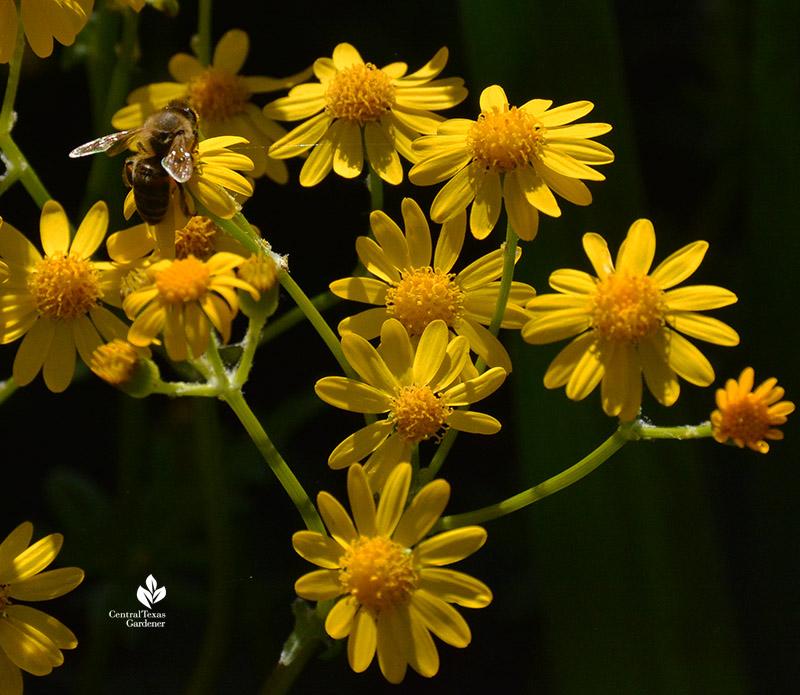 bee on golden groundsel flower