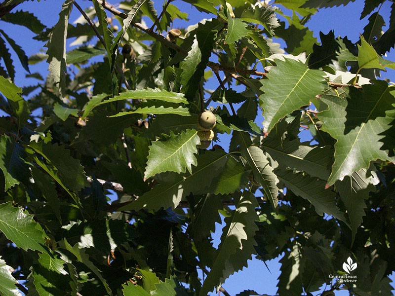 chinkapin oak acorns