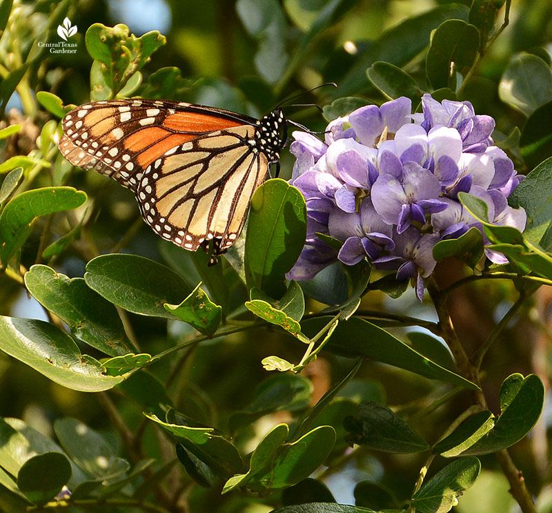 Monarch butterfly Texas mountain laurel flower
