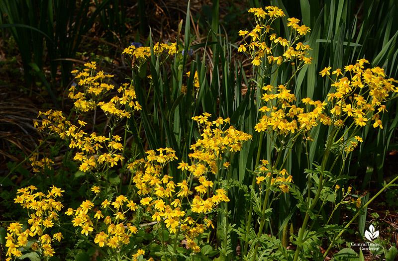 golden groundsel flowers