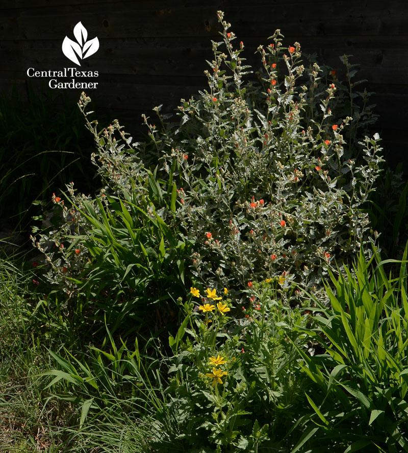 globe mallow Texas star flowers inland sea oats grass