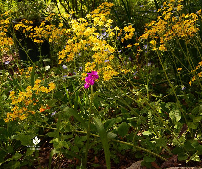 spiderwort, golden groundsel, baby blue eyes flowers